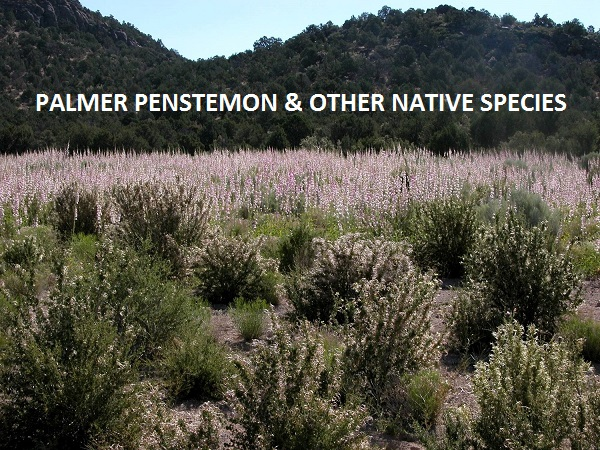 Palmer Penstemon