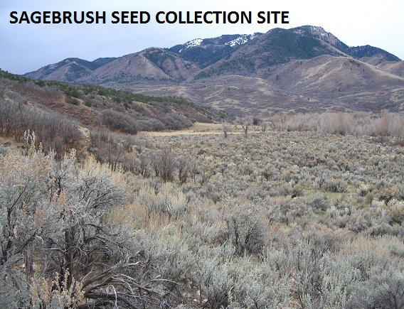 Sagebrush Seed Collection Site