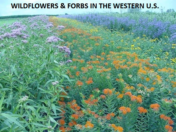 Wildflowers & Forbs