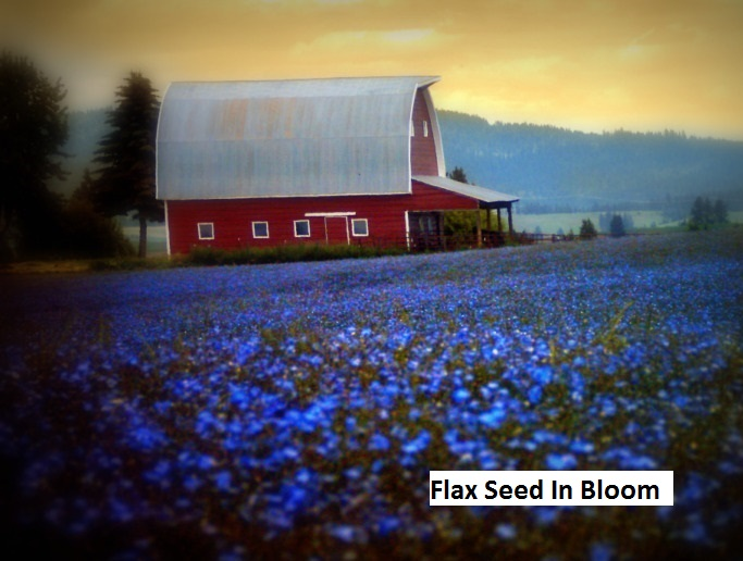 Idaho - Flax Seed In Bloom