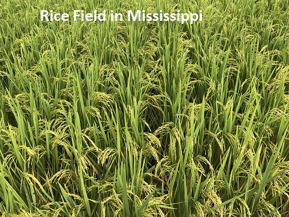 Rice Field in Mississippi